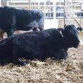 丸々と育った牛達は32ヶ月程で出荷されます