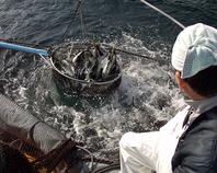 象潟港直送の活魚