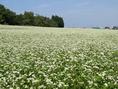 長岡市越路地区にある「越路原」は風通しも良く、寒暖の差があり、蕎麦の栽培には最適とされています。当社の蕎麦は契約している農家で有機栽培されている蕎麦粉を100%使用、つなぎに布海苔を使い、そば殻も少量混ぜ込んでいます。のど越しツルツルとし、そばの香りがしっかりする自慢の蕎麦をぜひお召し上がりください。