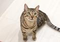 クッキー・ベンガル・♂・Birthday 2017.4.7 クールでワイルドな見た目とは裏腹に人も猫も大好き。アピールは控えめだけどわかりやすい甘えんぼさん。