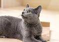 ココア・ロシアンブルー・♂・Birthday 2017.7.30 リプミィ猫スタッフの中で一番の接客&甘え上手。抱っこや膝のうえが大好きでお客さんを逃しません。笑