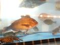 店内にある生簀(いけす)新鮮な魚介を寿司にお造りに御堪能して頂けます!