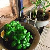 【自家製ハーブ☆】ヤーマンの日当たりを活かしてハーブを育てております!店先でミント、バジル、レモングラスがハツラツと育ってます!