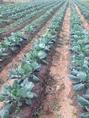 11月11日現在、芽キャベツもぐんぐん育ってます。これから冬の準備に入り1月より収穫予定です。
