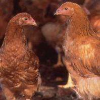 大切に飼育した比内地鶏