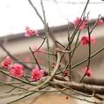 エントランス外の梅の木◎