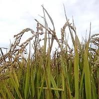 スープカリィとの相性抜群な北の大地のお米