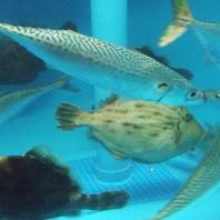 生簀完備でいつでも新鮮な魚介をご提供致します。