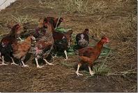 白砂ケ尾地鶏牧場の新鮮なみやざき地頭鶏
