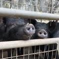 又吉農園では、稀少ともいわれるアグーを飼育し沖縄の宝を世に知ってもらいたいとの思いから、原種近いアグー交配に力をいれております。餌の配合には、発行飼料・配合飼料・パイン粕・紅芋などにこだわりつつ、放牧させることでストレスを軽減させて、良い肉質に仕上げていきます。