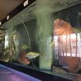 活イカ専用水槽と大型2段水槽完備(*^^*)生きたままのイカを食べた事がありますか?(天候不良の為、漁に出れない時は入荷出来ません。。ご了承ください。)