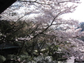 春には満開の桜をお楽しみ頂けます。