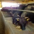 こだわりの餌を食べて育った和牛は甘味があり、とろけるような触感をお愉しみ頂けます