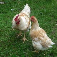 【播州百日鶏】拘りの朝引き鶏