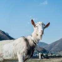自社農園で飼っているキュートなヤギ☆
