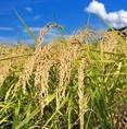 大地の恵をたっぷり受け食味値の高いお米に