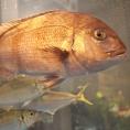 大型いけすには、季節のお魚をご準備しております。新鮮なままお造りにしてご提供致します!!絶品◎