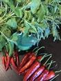 熱帯食堂では、自営の農場で無農薬唐辛子栽培を行っており、お客さまに安全なお野菜をお届けできるようにしております。