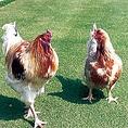 【厳選したブランド鶏を使用】串焼き定番人気の徳島県の阿波尾どりや、珍串メニューの山口県の長州どり、国産黒豚など店主が徹底的にこだわり抜いた食材のみ使用!部位や品種を1番おいしい食べ方で!