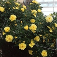窓の外には様々な種類のお花をご覧頂けます♪毎年、春になりますと デッキでは 黄色いサンシュウを始まりとして ハナカイドウ ピンクの つつじ ブルーベリーの花 ブラックベリーの花 黄色いバラが咲いています。今は オリーブの花がかわいいです。