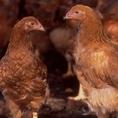 通常の鶏の3倍以上時間をかけて放し飼いで育てられた比内地鶏。
