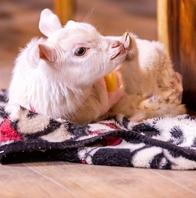 癒しの小さなヤギたちがお客様をお出迎え