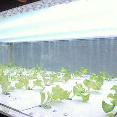 店内では直接野菜を育ててます!新鮮その物