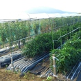 トマトや、パプリカ、人参、玉葱、パクチョイ(中国から伝わったアブラナ科の野菜)など季節のお野菜を栽培しています。お野菜の生育状況はFacebookページ「大成閣 農園レポート」でご報告しています。