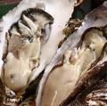 料理メニュー写真函館産なまら大きい牡蠣(生・焼き・蒸し)
