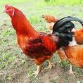 りんご屋農園比内地鶏☆丹精込めて育て上げた比内地鶏をお楽しみ頂けます置♪