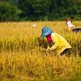 おいしいお米を作る為にはそれ相応の労力と愛情が必要です。一つ一つ丁寧に収穫していきます。
