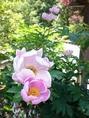【春】散策で楽しめる春の花 一例 牡丹