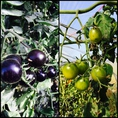 ★道産のこだわり★剣淵町のトマトその時の旬な野菜が直送で届きます!写真の黒いトマトや緑のトマト、緑のトマトが赤いトマトよりも1番甘いんです!驚きです!
