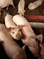 直接仕入で新鮮、越後の豊かな大地が育む『新潟麦酒豚』